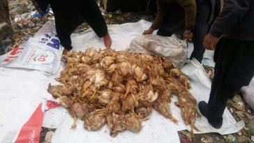 ضلعی انتظامیہ سوات کا مینگورہ میں مردہ مرغیاں فروخت کرنے والے دوکانداروں کے خلاف کارروائی۔