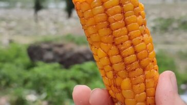 For the love of corn . . . . . . . . . . .